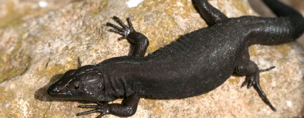 lagartija negra de Menorca