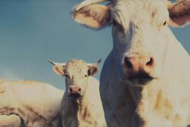 mozzarella di minorca mucche